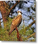 Opulent Osprey Metal Print by Al Powell Photography USA