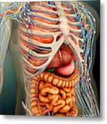 Perspective View Of Human Body, Whole Metal Print