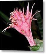 Pink Bromeliad Bloom - Close Up Metal Print by Kaye Menner