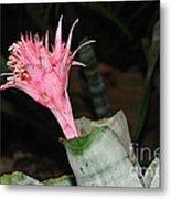Pink Bromeliad Bloom Metal Print by Kaye Menner