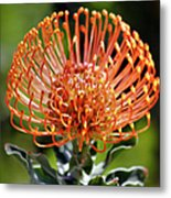Protea - One Of The Oldest Flowers On Earth Metal Print
