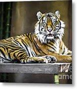 Ranu The Sumatran Tiger Metal Print by Shannon Rogers