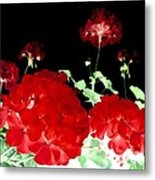 Red Geraniums Metal Print by Will Borden