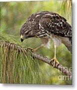 Red Shouldered Hawk Photo Metal Print