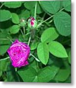 Rose Bud Metal Print by Michael Sokalski