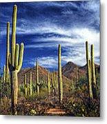 Saguaro Cactuses In Saguaro National Park Metal Print