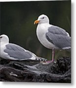 Seagulls Metal Print by Gary Langley