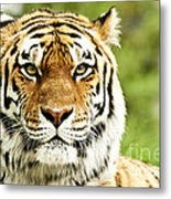 Siberian Tiger Beautiful Closeup Metal Print