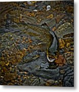 The Brown Trout Metal Print