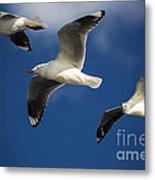 Three Silver Gulls In Flight Metal Print by Avalon Fine Art Photography