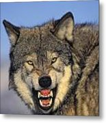 T.kitchin Wolf Snarling Metal Print by First Light
