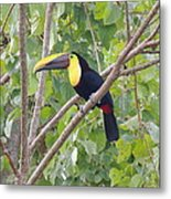 Toucan Metal Print by Gregory Young