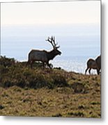 Tules Elks Of Tomales Bay California - 7d21230 Metal Print