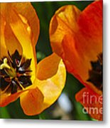 Two Tulips Metal Print by Elena Elisseeva