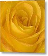 Yellow Tea Rose Metal Print by John Pitcher