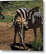 Zebra Mother And Foal Metal Print by Graham Palmer