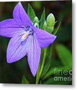August Balloon Flower Metal Print