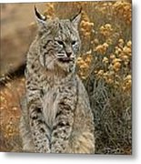 A Bobcat Metal Print