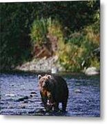 A Kodiak Brown Bear Ursus Middendorfii Metal Print by George F. Mobley