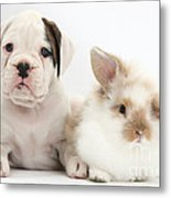 Boxer Puppy And Young Fluffy Rabbit Metal Print by Mark Taylor