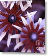 Flower Rudbeckia Fulgida In Uv Light Metal Print by Ted Kinsman