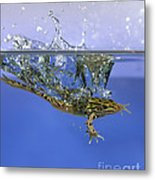 Frog Jumps Into Water Metal Print by Ted Kinsman