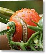 Immature Tomatoes Metal Print