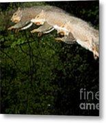 Jumping Gray Squirrel Metal Print