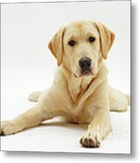 Labrador X Golden Retriever Puppy Metal Print by Jane Burton