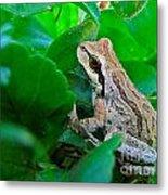Pacific Tree Frog Metal Print
