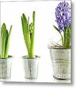 Purple Hyacinth In Garden Pots On White Metal Print by Sandra Cunningham