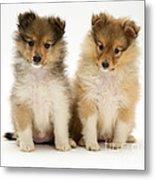 Sheltie Puppies Metal Print by Jane Burton