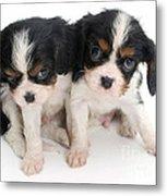 Spaniel Puppies Metal Print