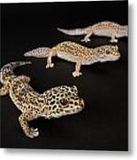 Three Female Leopard Geckos Eublepharis Metal Print