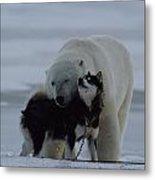 A Polar Bear Ursus Maritimus Metal Print