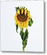 Close Up Of Sunflower. Metal Print