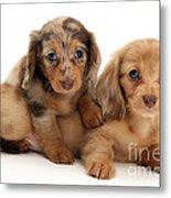 Dachshund Pups Metal Print