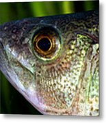Yellow Perch Perca Flavescens Metal Print
