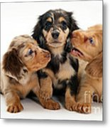 Dachshund Pups Metal Print by Jane Burton