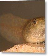 Bullfrog Tadpole Metal Print by Ted Kinsman
