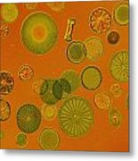 Close View Of Diatoms Metal Print by Darlyne A. Murawski