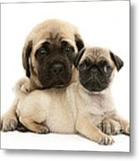 Pug And English Mastiff Puppies Metal Print by Jane Burton