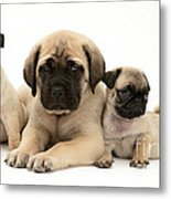 Pug And English Mastiff Puppies Metal Print