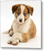 Border Collie Puppy Metal Print by Jane Burton