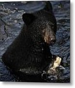 A Black Bear Feeds On Salmon In Anan Metal Print by Melissa Farlow