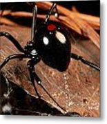 A Black Widow Spider Latrodectus Metal Print by George Grall