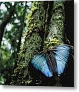 A Blue Morpho Butterfly Metal Print