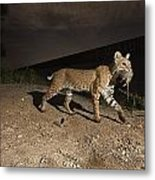 A Bobcat Crosses A Rio Grande Border Metal Print