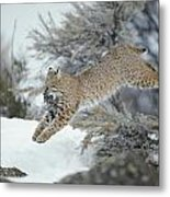 A Bobcat Leaps With A Horned Lark Metal Print