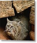 A Bobcat Pokes Out From Its Alcove Metal Print